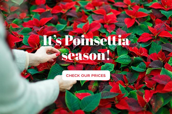 Poinsettia Prices